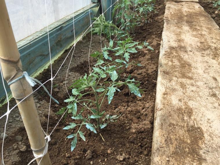 Pomodoro lacasadiginevra for Irrigazione a goccia per pomodori